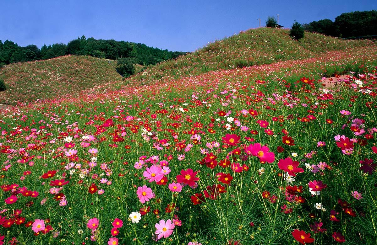 사리코스모스유원(佐里コスモス遊園)