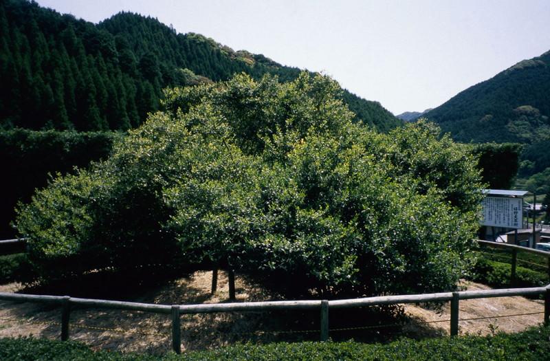 우레시노 오오차노키(大茶樹) (2)