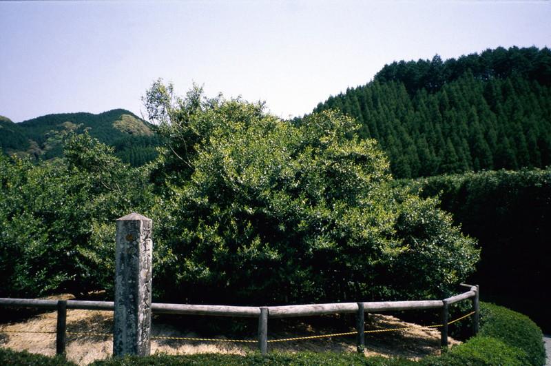 우레시노 오오차노키(大茶樹)